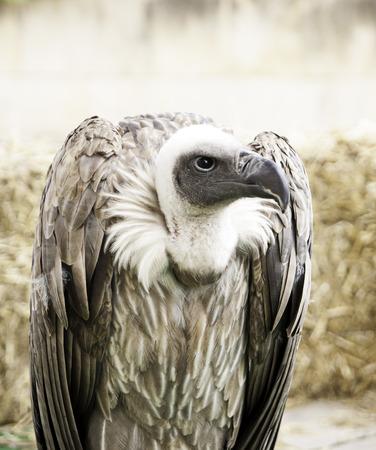 Wild vulture quiet on display raptors, birds Stock Photo