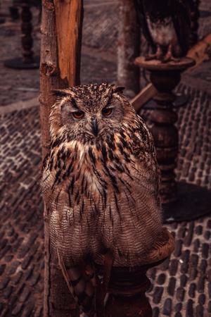 Royal owl, detail of a wild bird, bird Stock Photo