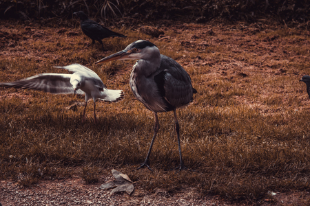 Heron in natural park, birds in danger of extinction, animals Stock Photo