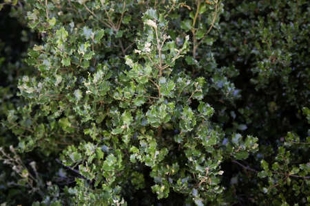 Holly tree leaves, protected tree detail