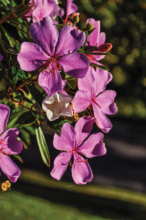 Close-up of pink flowers in the light of sunrise, near Monte Alegre do Sul. In the countryside of Sao Paulo State, the region rich in agricultural and livestock products, southwestern Brazil