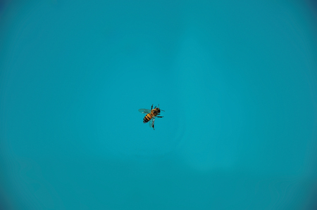 apis: Close-up of a bee on top of the water, near Monte Alegre do Sul. In the countryside of S?o Paulo State, the region rich in agricultural and livestock products, southwestern Brazil