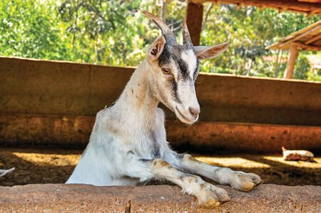 Close-up of goat in a farmhouse near the village of Joanópois. Located in the countryside of São Paulo State, the region rich in agricultural and livestock products, southwestern Brazil Imagens