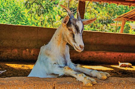 Close-up of goat in the farmhouse near the town of Joan?polis. Located in the countryside of S?o Paulo State, the region rich in agricultural and livestock products, southwestern Brazil. Retouched photo
