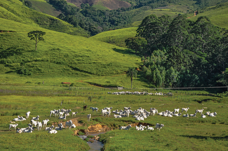 View of grassy fields with cows grazing near the town of Joanopolis. In the countryside of S?o Paulo State, the region rich in agricultural and livestock products, southwestern Brazil Stock Photo