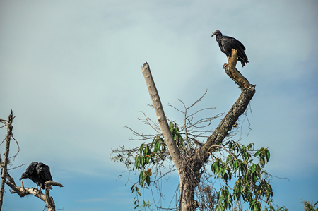 View of vultures on alert over a tree branch near the town of Joan?polis. In the countryside of S?o Paulo State, the region rich in agricultural and livestock products, southwestern Brazil