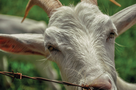 wire fence: Close-up of goat next to fence in a farmhouse near the village of Joan?pois. Located in the countryside of S?o Paulo State, the region rich in agricultural and livestock products, southwestern Brazil Stock Photo