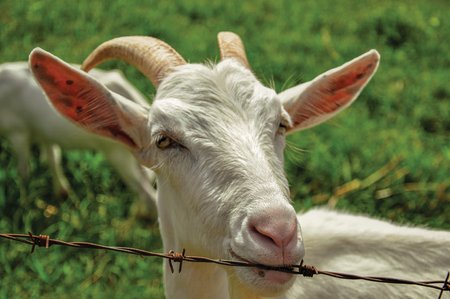 Close-up of goat next to fence in a farmhouse near the village of Joan?pois. Located in the countryside of S?o Paulo State, the region rich in agricultural and livestock products, southwestern Brazil