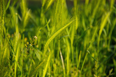 Close-up of wild wheat ear in the middle of lawn in a park in the city center of Bologna, an important, cultural and artistic city. Located in the Emilia-Romagna region, northern Italy