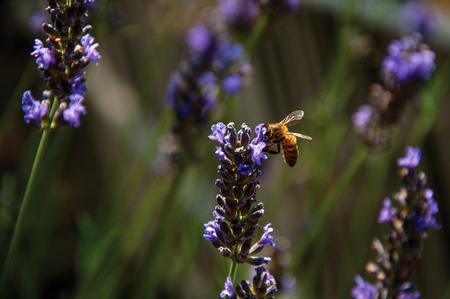 Close-up of bee on top of lavender flower in a garden in the village of Chateauneuf-du-Pape, in a sunny day. Located in the Vaucluse department, Provence-Alpes-Côte dAzur region, southeastern France