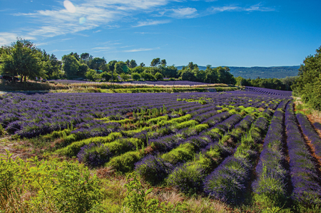 Panoramic view of field of lavender flowers under sunny blue sky, near the village of Roussillon. In the Vaucluse department, Provence region, southeastern France