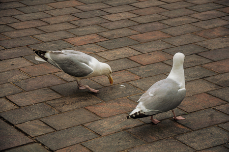 Couple of seagull walking on brick sidewalk in a cloudy day at The Hague. Important political center, is a mix of historic city with modernity. Western Netherlands. Stock Photo