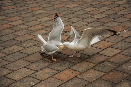 Two seagulls fighting on brick sidewalk in a cloudy day at The Hague. Important political center, is a mix of historic city with modernity. Western Netherlands.