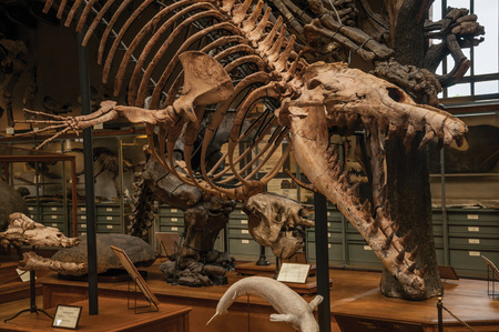 Paris, northern France - July 10, 2017. Fossil of carnivorous dinosaur at the Gallery of Paleontology and Comparative Anatomy in Paris. Known as one of the world's most impressive cultural centers.