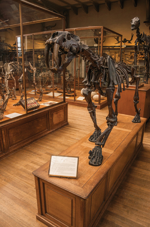 Paris, northern France - July 10, 2017. Smilodon skeleton at the huge hall in the Gallery of Paleontology and Comparative Anatomy at Paris. Known as one of the world's most impressive cultural centers.