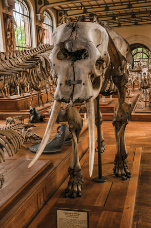 Paris, northern France - July 10, 2017. Close-up of elephant skull at hall in Gallery of Paleontology and Comparative Anatomy at Paris. Known as one of the world's most impressive cultural centers. Editorial