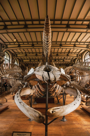 Paris, northern France - July 10, 2017. Skeletons of marine mammals at the Hall of the Gallery of Paleontology and Comparative Anatomy at Paris. Known as one of the world's most impressive cultural centers.