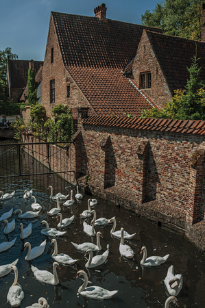 Several swans swimming in canal next to an old brick house on a sunny day at Bruges. Imagens