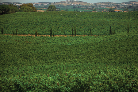 Landscape of many green vines and dirt road in a vineyard near Estremoz. A nice little historic town with several buildings made of marble on eastern Portugal.