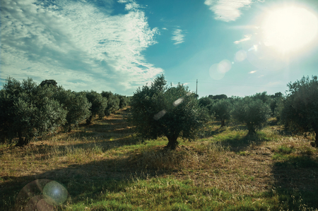 Verdant orchard with olive trees full of fruits still not ripe on sundown, in a small farm near Elvas. A gracious star-shaped fortress city on the easternmost frontier of Portuial. 写真素材
