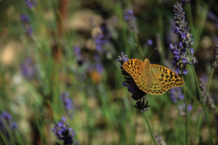 Beautiful butterfly landed on lavender flower in green garden, on sunny day at the Marvao Castle. An amazing medieval fortified village perched on a granite crag in eastern Portugal.