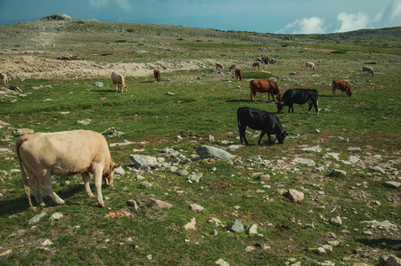 Landscape of cows herd grazing on poor pasture filled with stones, on the highlands at the Serra da Estrela. The highest mountain range in continental Portugal, with astonishing scenery.