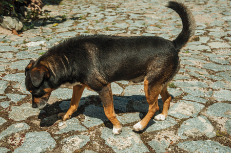 Sympathetic mutt dog standing on cobblestone alley, in a sunny day at Linhares da Beira. A medieval hamlet with unique architectural diversity fruit of several times, in eastern Portugal. Banco de Imagens