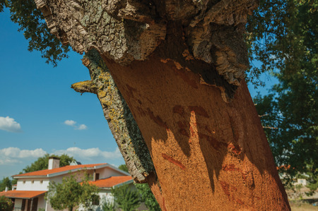 Close-up of cork tree trunk, very common in Portugal, with the bark removed to produce corks, at Serra da Estrela. The highest mountain range in continental Portugal, with astonishing scenery.