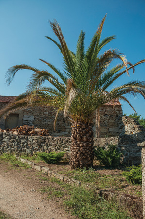 Short leafy palm tree on dirty ground in front of old stone house and wall, in a sunny day at Lageosa do Mondego. A nice little village in the countryside, at mountain foothills on eastern Portugal. Stock Photo - 124403951