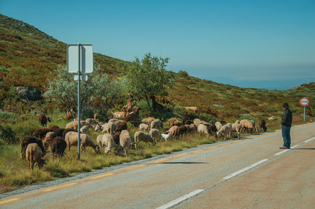 Serra da Estrela, Portugal, July 14, 2018. Shepherd with flock of goats grazing beside road, at the Serra da Estrela ridge. The highest mountain range in continental Portugal, with astonishing scenery