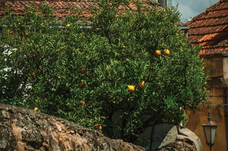 Orange tree laden with ripe fruits on a small courtyard behind a house wall in an alley of Belmonte. A cute small town, birthplace of the navigator Pedro Alvares Cabral, on eastern Portugal.