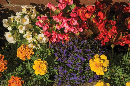 Close-up of colored flowers at the sunset light, in front a bricked wall at Weesp. Quiet and pleasant village full of canals and green near Amsterdam. Northern Netherlands.