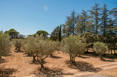 View of olive tree plantation under the sunny and warm sky of Provence near the village of Lourmarin. In the Vaucluse department, Provence-Alpes-Cote d Azur region, southeastern France Zdjęcie Seryjne