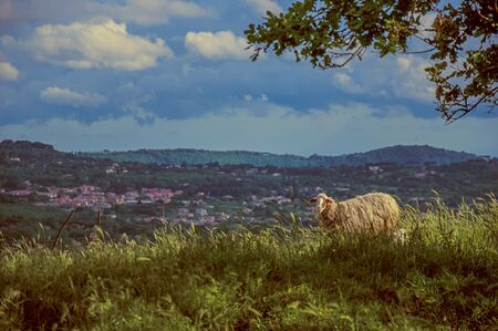 Close-up of sheep, fields and hills near the town of Frascati. A pleasant and well-known place for its fine wines, near Rome. Located in the Lazio region, central Italy Zdjęcie Seryjne