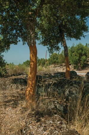 Countryside rocky terrain covered by dry brushwood and a few peeled cork trees, in a sunny day near Monsanto, considered one of the cutest and most peculiar historic village of Portugal. 스톡 콘텐츠