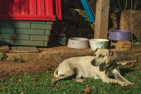 Cute labrador retriever breed dog sitting on green lawn, guarding a farm near Bento Goncalves. A friendly country town in southern Brazil famous for its wine production.