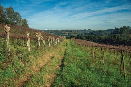 Rural landscape with leafless grapevines in a vineyard aside a pathway and buildings from Bento Goncalves at the horizon. A friendly country town in southern Brazil famous for its wine production.