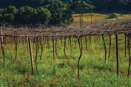 Rural landscape with rows of leafless grapevines in a vineyard with country house and wooded hills near Bento Goncalves. A friendly country town in southern Brazil famous for its wine production.