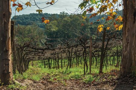 Rural landscape with trunks and branches of leafless grapevines behind plane tree trunks, in a vineyard near Bento Goncalves. A friendly country town in southern Brazil famous for its wine production.