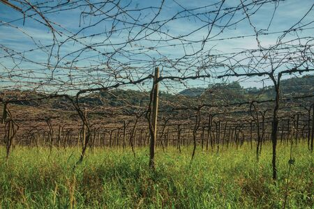 Rural landscape with rows of trunks and branches of leafless grapevines above underbrush, in a vineyard near Bento Goncalves. A friendly country town in southern Brazil famous for its wine production.