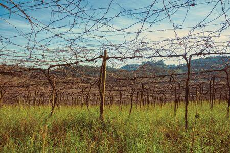Paysage rural avec des troncs et des branches de vignes sans feuilles dans un vignoble près de Bento Gonçalves. Une ville de campagne conviviale dans le sud du Brésil célèbre pour sa production de vin. Photo retouchée. Banque d'images