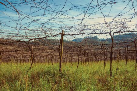 Rural landscape with trunks and branches of leafless grapevines in a vineyard near Bento Goncalves. A friendly country town in southern Brazil famous for its wine production. Retouched photo. Banque d'images