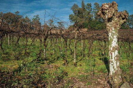 Paysage rural avec des rangées de troncs et de branches de vignes sans feuilles au-dessus des sous-bois, dans un vignoble près de Bento Gonçalves. Une ville de campagne sympathique dans le sud du Brésil célèbre pour sa production de vin.