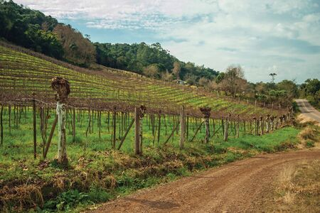 Rural landscape with several rows of leafless trunks and vine branches aside a dirt road near Bento Goncalves. A friendly country town in southern Brazil famous for its wine production.