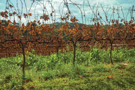 Rural landscape with rows of trunks and vine branches with dry leaves and underbrush, in a vineyard near Bento Goncalves. A friendly country town in southern Brazil famous for its wine production.