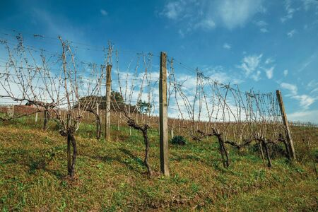Rural landscape with rows of trunks and vine branches with dry leaves and underbrush, in a vineyard near Bento Goncalves. A friendly country town in southern Brazil famous for its wine production. Banque d'images