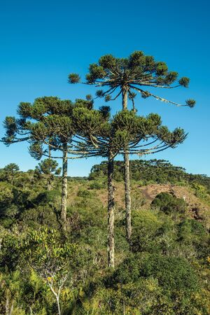 Landscape of pine treetops amid lush forest in the Aparados da Serra National Park near Cambara do Sul. A small country town in southern Brazil with amazing natural tourist attractions.