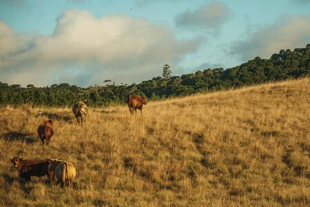 Cattle scattered on rural lowlands called Pampas with dry bushes covering the hills near Cambara do Sul. A small country town in southern Brazil with amazing natural tourist attractions.