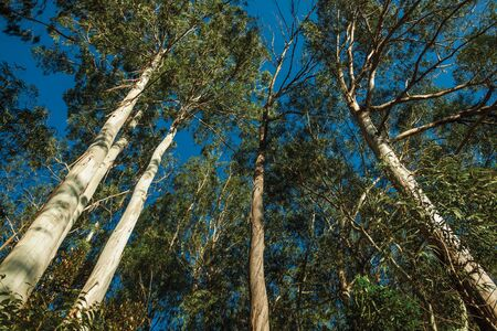 Trunks and branches of various eucalyptus trees in a grove near Gramado. A cute european-influenced town in southern Brazil highly sought after by tourists.