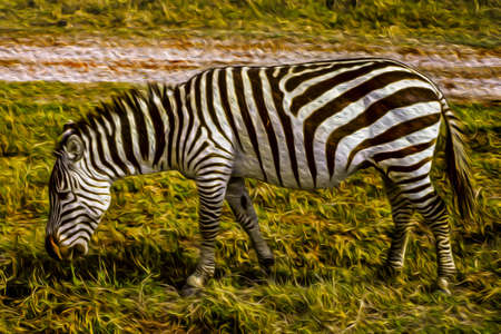 Zebra grazing on green pasture in the Ngorongoro conservation area. A park for the wildlife protection located on a large volcanic crater in the African savanna of Tanzania. Oil paint filter.